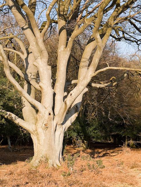 Pollarded beech tree on edge of Winding Stonard