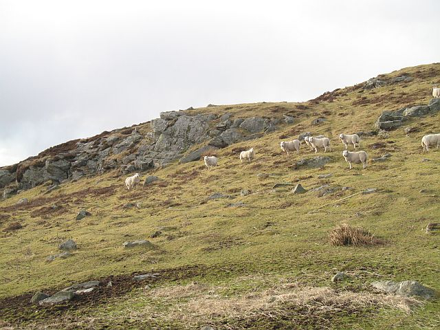 Sheep waiting for the quad bike