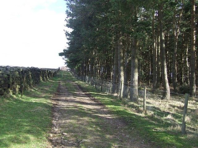 Track beside conifer plantation near High Agra