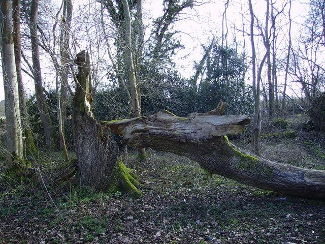 Barton Stacey -  Fallen Tree