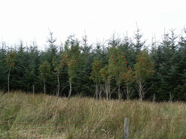 Rowan Trees