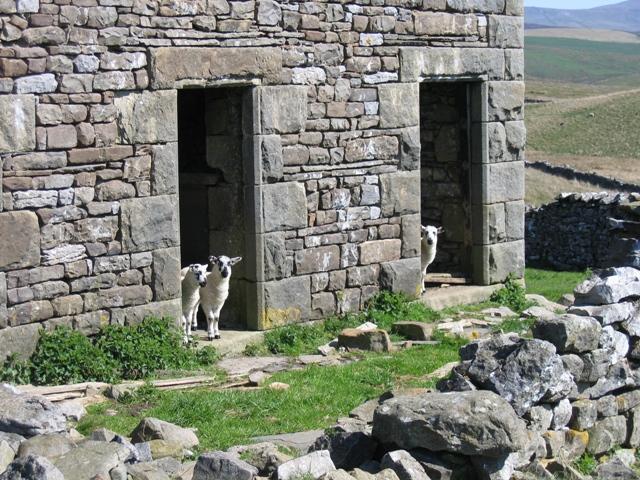 Inquisitive lambs at Back Hools Barn
