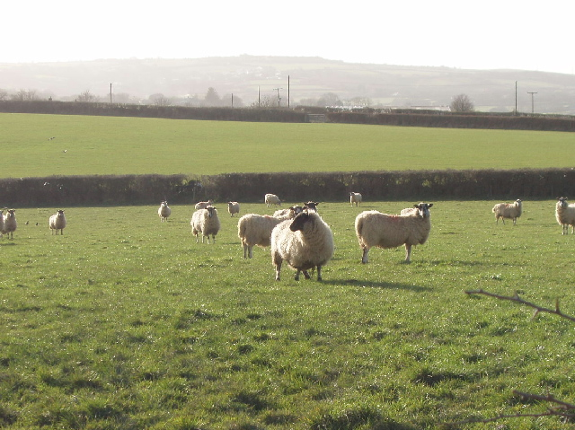Sheep at Higher Trossell