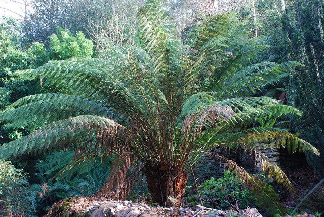 Rhedynen Dicksonia Tree Fern