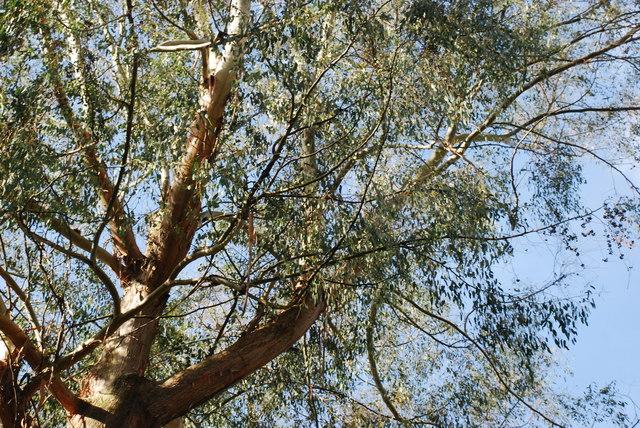 Ewcalyptws Portmeirion Eucalyptus