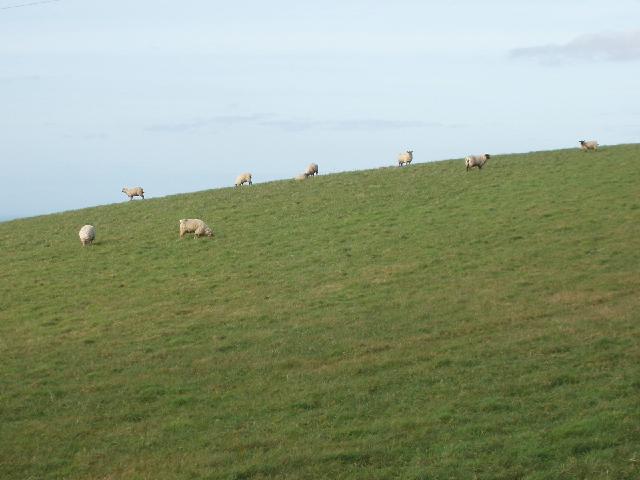 Sheep on hillside near Week St Mary