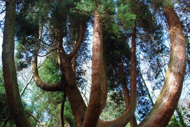 Hen Gedrwydden Siapan Portmeirion Old Japanese Cedar