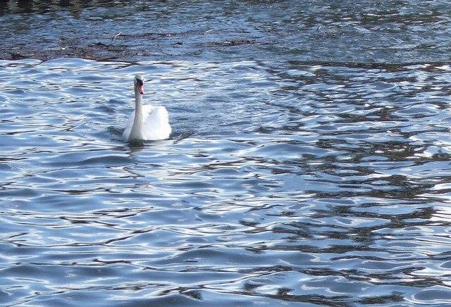 Swan at Trew's Weir