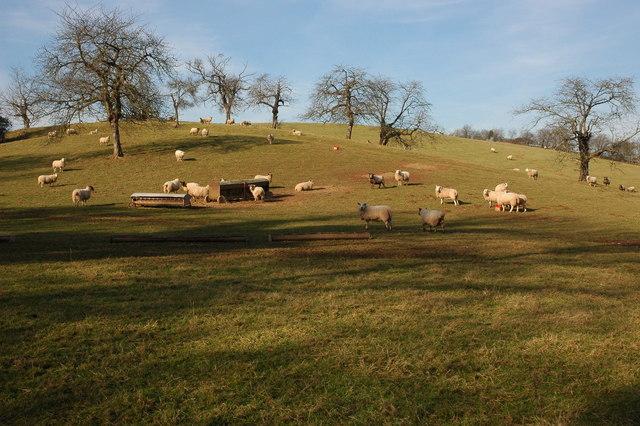 Sheep on Fincher's Farm