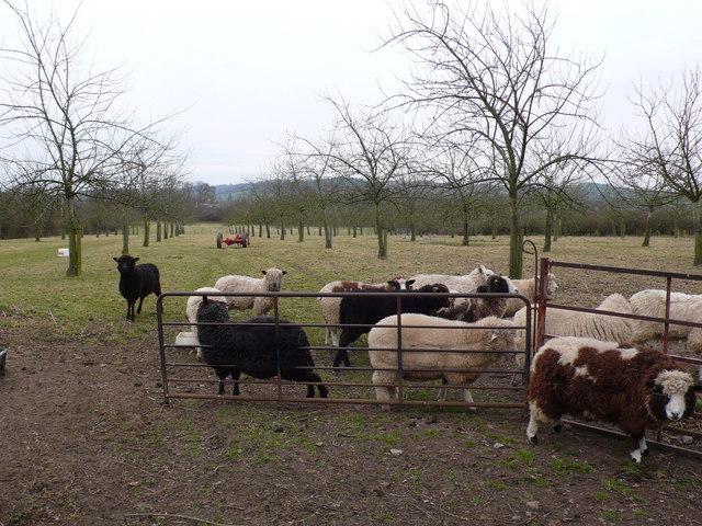 Sheep in an orchard near Sparkford