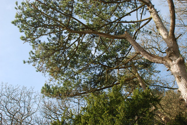 Pinwydden Portmeirion Pine