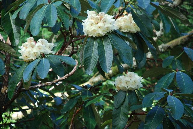 Rhododendron Portmeirion