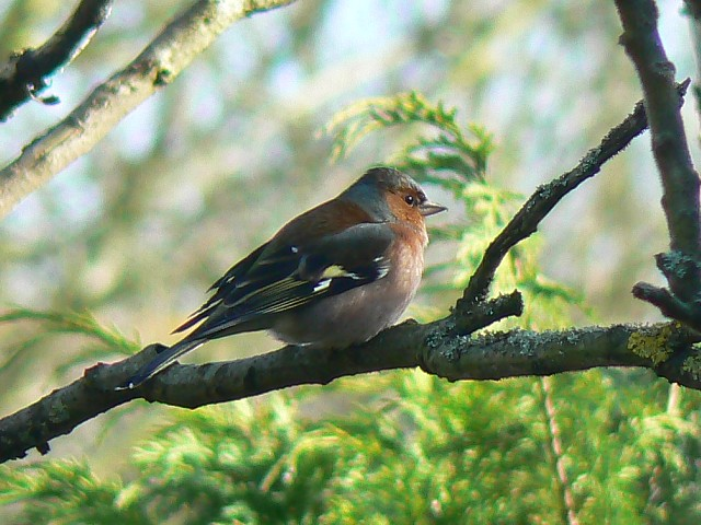 Chaffinch, Swindon