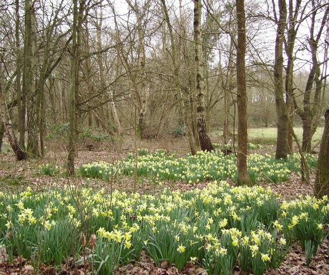 Daffodils in Ambarrow Court