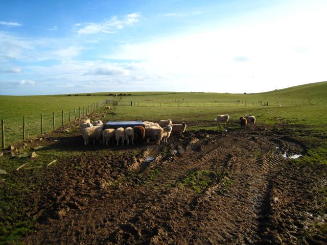 Sheep, mud and grass