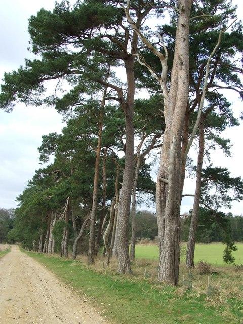 Breckland trees