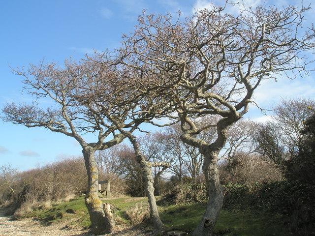 Impressive trees at North Hayling
