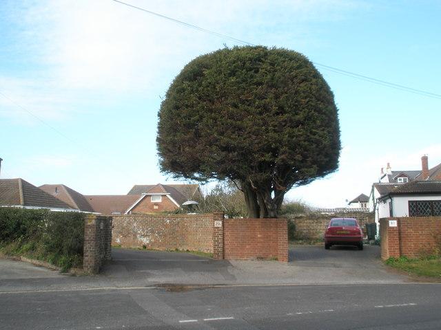 Impressive tree in Newtown Lane