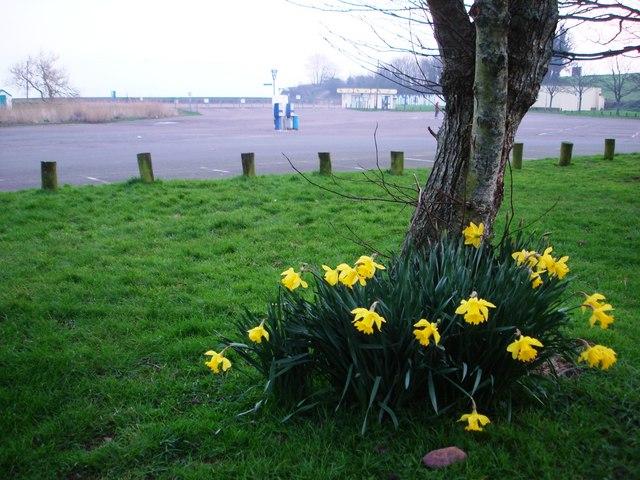 Broadsands beach car park - Daffodils