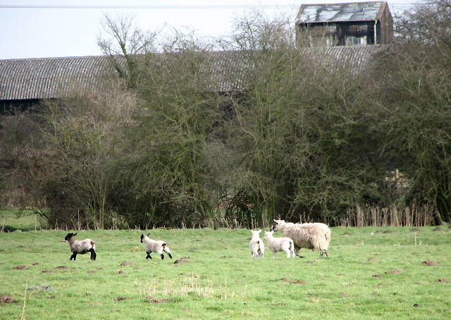 Ewe with lively quadruplets