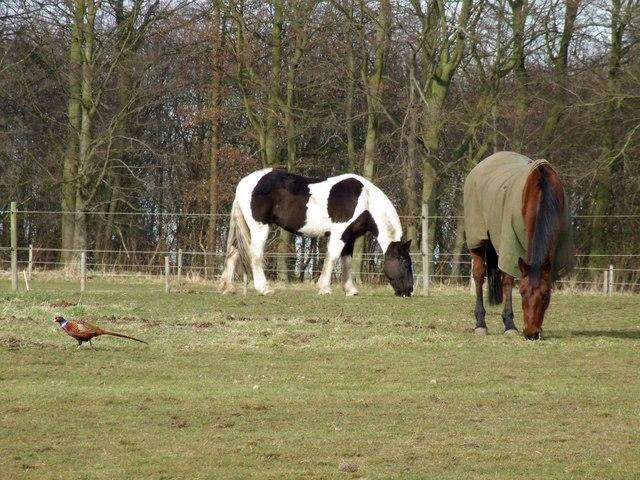 Pheasant and horses at Hareby