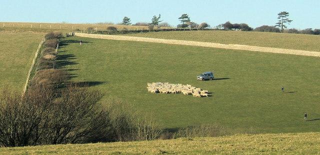 Shepherding at Crowlink, near Friston.
