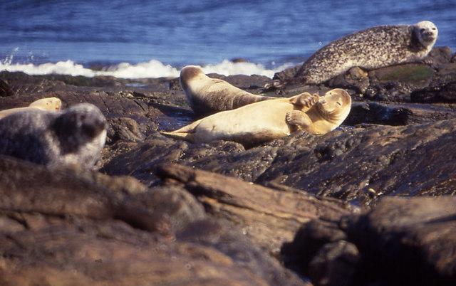 Common Seals (Phoca vitulina) on Strom Ness, North Ronaldsay