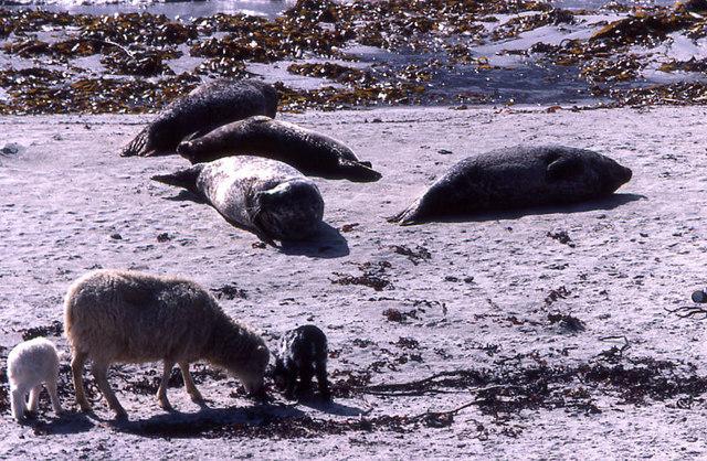 Sheep and seals, Nouster Bay, North Ronaldsay