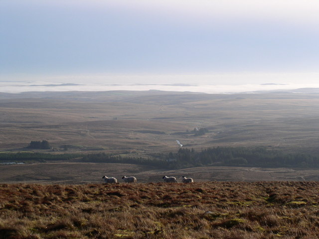 Sheep on Goodman's