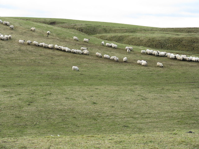 Sheep at breakfast, near Mount Lothian