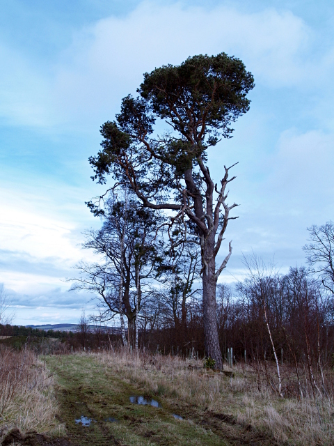 Scots Pine, Whinny Plantation