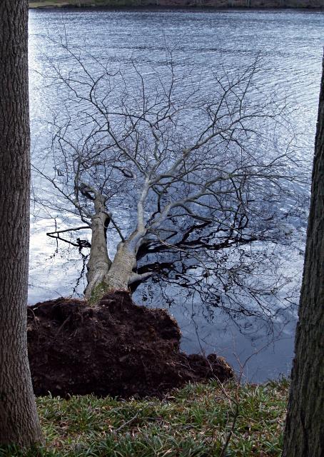 Fallen tree, Edgelaw Reservoir