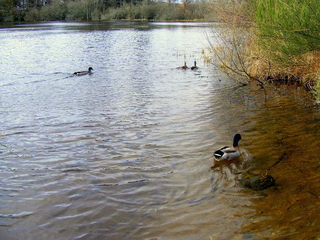 Mallards at Loch Oire