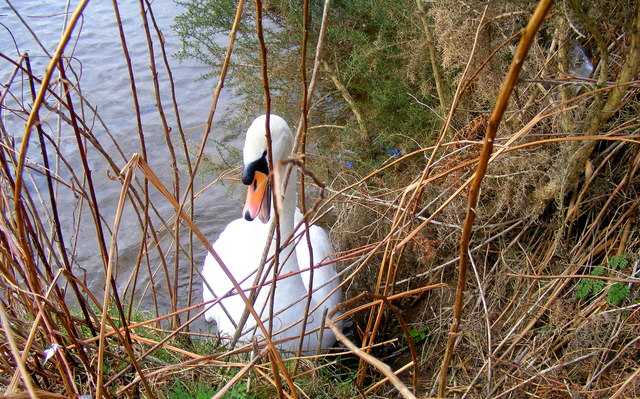 A Swan at Loch Oire