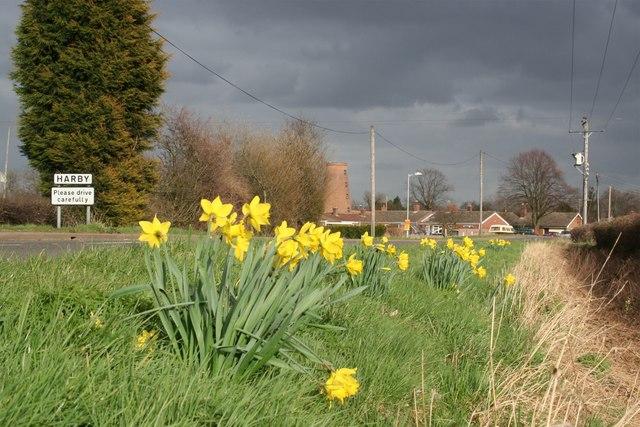 Wigsley Road daffodils