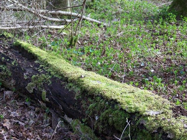 Moss covered log, Knighton Wood