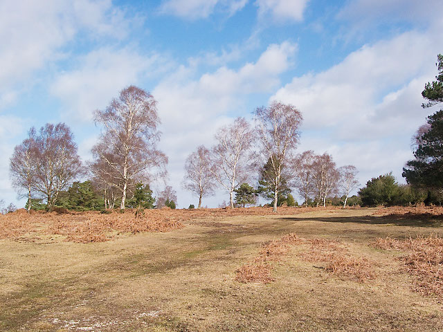 Silver Birches in Ocknell Inclosure, New Forest