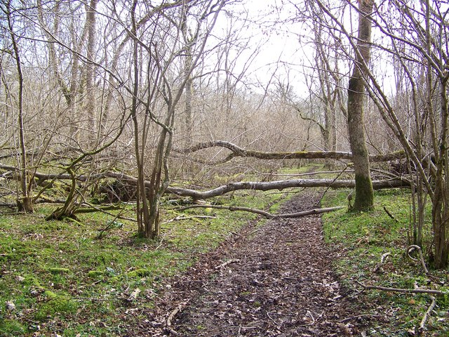 Fallen tree, Knighton Wood