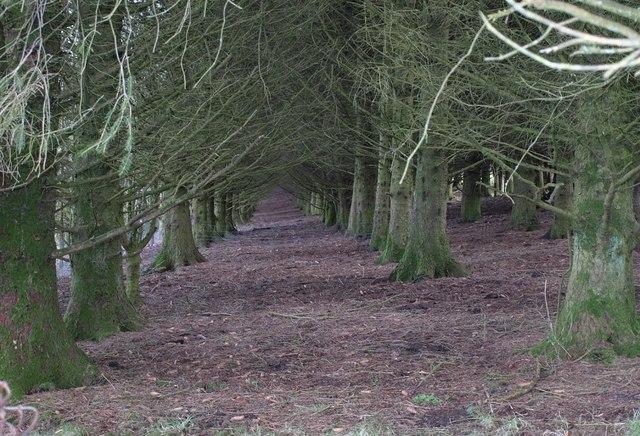 Conifer wood on Northwood Downs