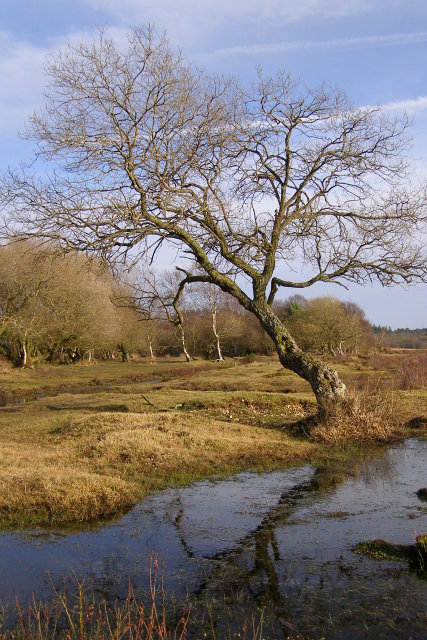 Leaning tree, Culverley Bottom, New Forest