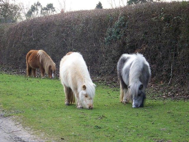 Shetland ponies near Fritham Lodge