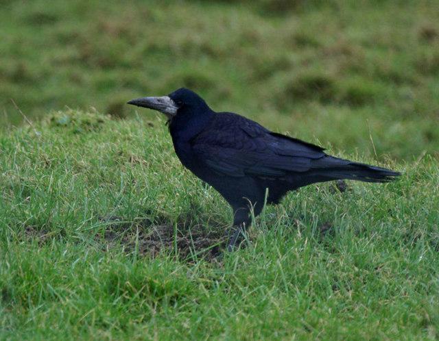 Rook (Corvus frugilegus), Weisdale
