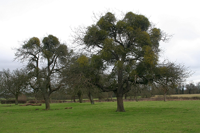 Mistletoe in Old Orchard