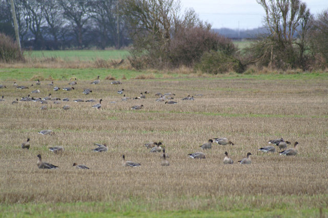 Pink-footed Geese (Anser brachyrhynchos), Downholland Moss