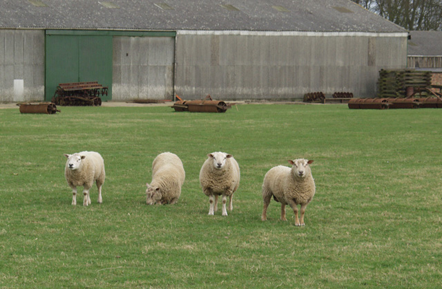 Just 4 ewes