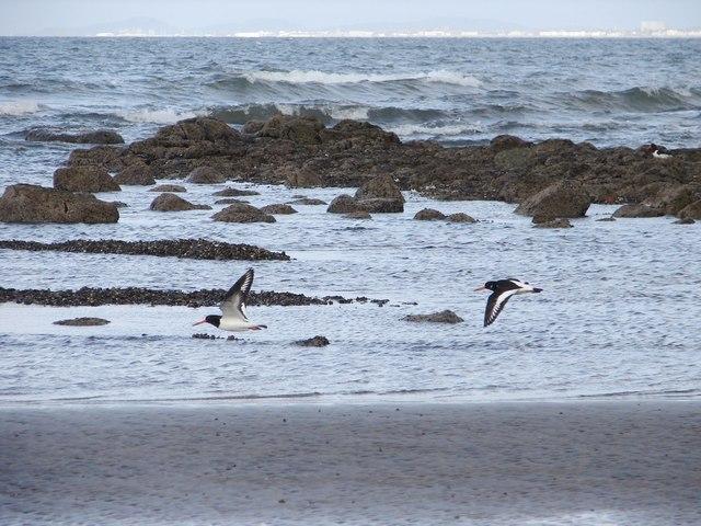 Oystercatchers on Barassie Beach