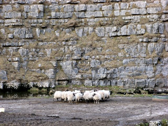 A Huddle of Sheep