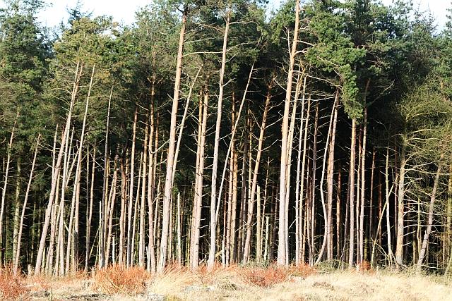 Forestry Near Blawath Road