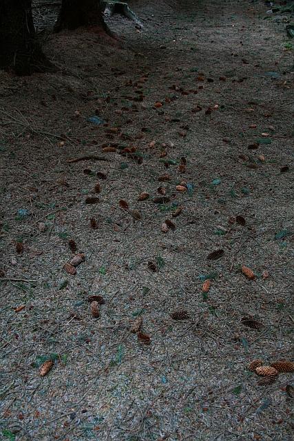 Fallen Pine Cones in Cropton Forest