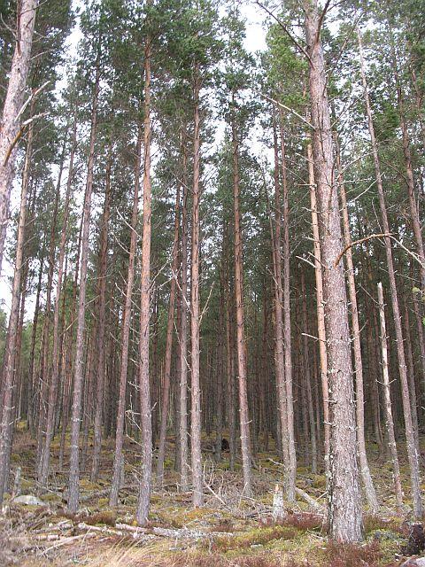 Inveruglas Forest, Gleann Chomhraig
